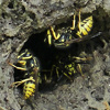 Western Yellowjackets