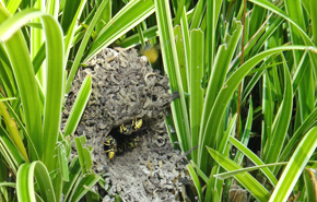 Yellowjacket nest in the grass